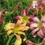 Some of the daylilies in the National Collection