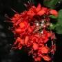 Clerodendrum splendens (clerodendrum splendens)
