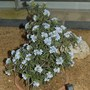 Lithodora zahnii (Lithodora zahnii)