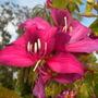 Bauhinia x blakeana  - Hong Kong Orchids Tree Flowers (Bauhinia x blakeana  - Hong Kong Orchids Tree)