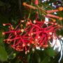 Stenocarpus sinuatus - Firewheel Tree Flowers (Stenocarpus sinuatus - Firewheel Tree)