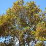 Macadamia integrifolia - Macadamia Nut Tree, Queensland Nut Flowering (Macadamia integrifolia - Macadamia Nut Tree)