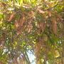 Macadamia integrifolia - Macadamia Nut Tree Flower Spikes (Macadamia integrifolia - Macadamia Nut Tree)