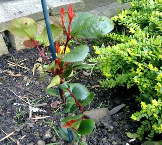 Little Red Robin  [Dwarf] (Photina)