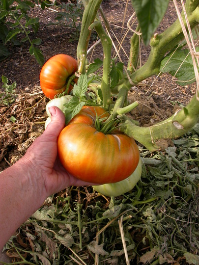 Tomato (Lycopersicon esculentum 'Black Russian')