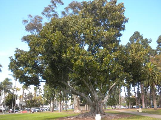 Ficus macrophylla - Australian Banyan Tree  (Ficus macrophylla - Australian Banyan Tree)