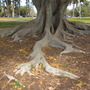 Ficus macrophylla - Australian Banyan Tree Surface Roots (Ficus macrophylla - Australian Banyan Tree)