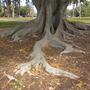 Ficus macrophylla - Australian Banyan Tree Surface Roots (Ficus macrophylla - Australian Banyan Tree)