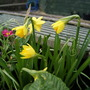 Tete-a-Tete (Narcissus)