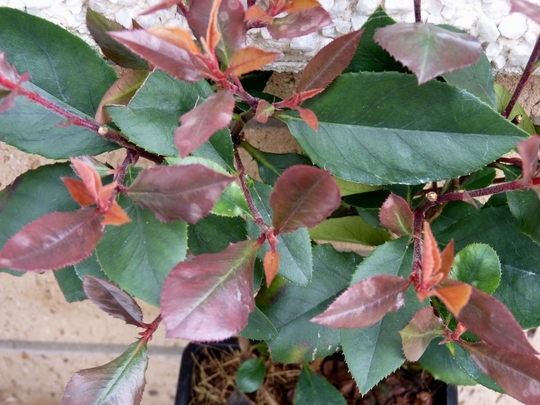 Photinia Fraseri 'Little Red Robin' (Photinia x fraseri (Christmas berry))