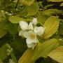 Philadephus Coronarius Aureus [Mock Orange] Flower 05.08 (Philadelphus coronarius 'Aureus')
