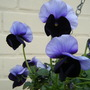 Blue Pansies...