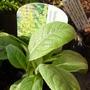Verbascum olympicum (Greek Mullein)