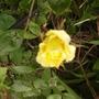 Rosa filipes