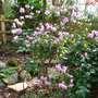 amazing azalea