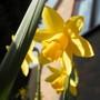 Daffodil From Below