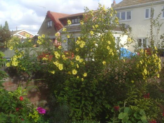 perennial sunflower (Helianthus 'Lemon Queen')
