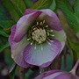 Hellebore..... (Helleborus occidentalis Double Queen.)