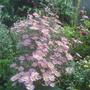 Chrysanthemum 'Clara Curtis' (Chrysanthemum 'Clara Curtis')