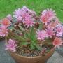 Lewisia 'Little Plum' (Little 'Little Plum')