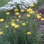 Ranunculus gramineus (Ranunculus gramineus)