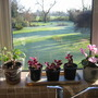 View from kitchen window, with Oxalis