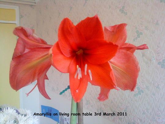 Amaryllis Red on living room table 03-03-2011 (Amaryllis)