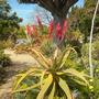 Aloe excelsa - Zimbabwe Aoe (Aloe excelsa - Zimbabwe Aoe)