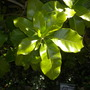 Amphitecna apiculata (Amphitecna apiculata)