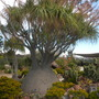 Beaucarnea recurvata - Ponytail Palm, Elephant Foot Palm (Beaucarnea recurvata - Ponytail Palm, Elephant Foot Palm)