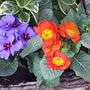 Orange and purple primroses