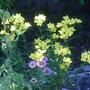 Linum flavum (Linum flavum (Dwarf Golden Flax))
