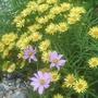Inula ensifolia 'Gold Star'