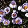 Crocus &#x27;Pickwick&#x27;