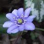 Hepatica (Hepatica transsilvanica)