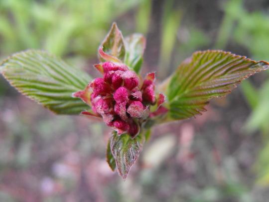 Viburnum Bodnantense From Dawnsaunt