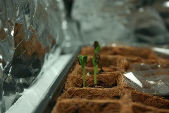 Watermellon seedlings