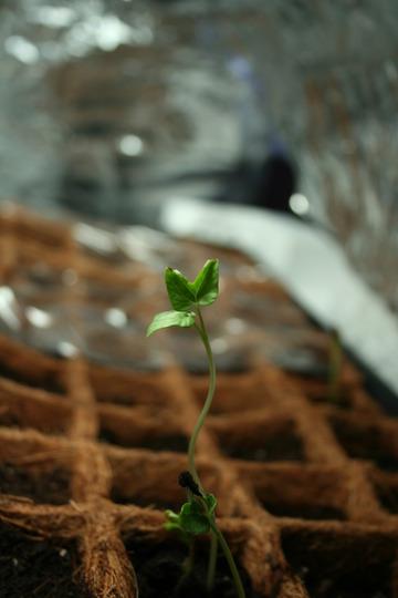 4 morning glory seedlings