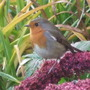 Robin on Sedum