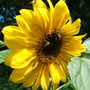 Sunflower being enjoyed by hoverflies (Helianthus annuus (Sunflower))