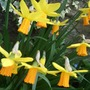 Narcissus cyclamineus 'Jetfire' (Narcissus cyclamineus (Cyclamen-flowered daffodil))