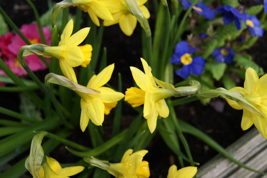 Tete-a-Tete kissing... (Narcissus)