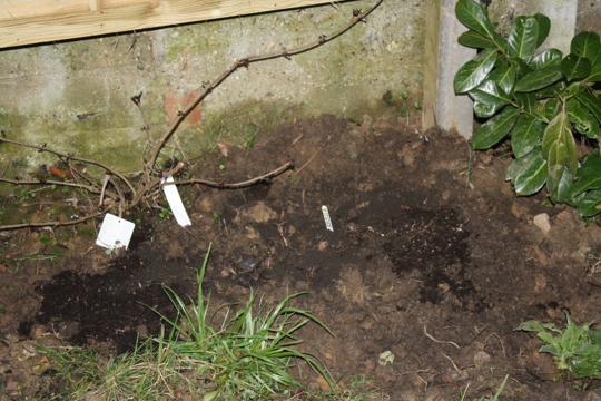 The black plants - sambucus nigra and lysimachia firecracker (lysimachia ciliata (firecracker))