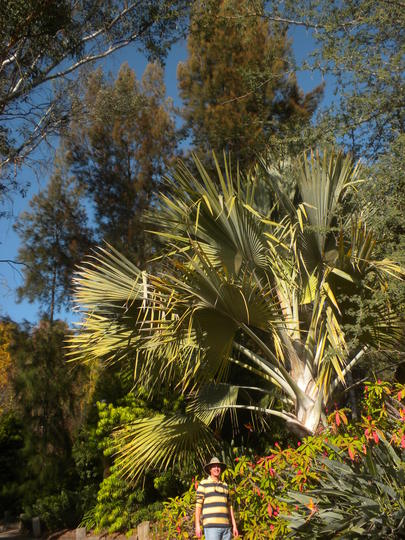 I'm standing next to a Bismarck Palm (Bismarckia nobilis) (Bismarck Palm (Bismarckia nobilis))