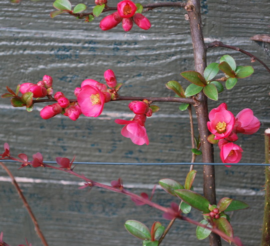 Chaenomeles. (Chaenomeles speciosa (Flowering quince)Pink)