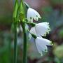 Leucojum. (Leucojum vernum (Spring snowflake))
