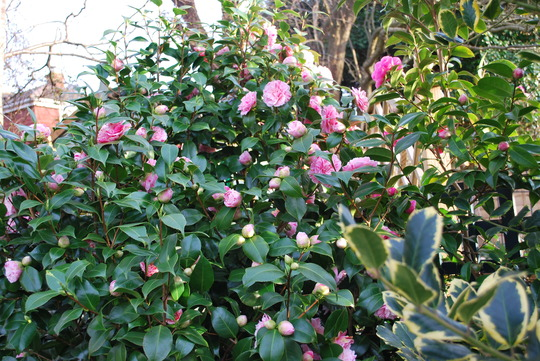 Camellia... (Camellia japonica (Camellia)?)
