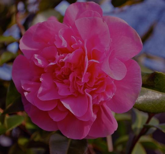 Camellia Williamsii Debbie. (Camellia)
