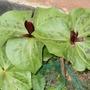 trillium (Trillium sessile (Toadshade))