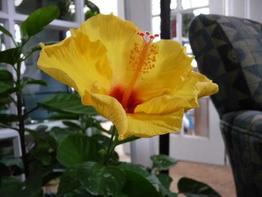 My First Hibiscus flowering indoors (Rose of Sharon)